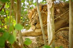 Closeup of male Lion hidden on a tree branch Stock Photos