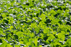 Detailed view of many green leafs of sugar beet field. Detailed backlight view of many natural green leafs of sugar beet field Royalty Free Stock Images