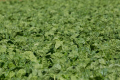 Detailed view of many green leafs of sugar beet field. Detailed view of many green leafs of natural sugar beet field Royalty Free Stock Photos