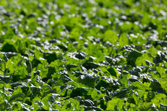 Detailed view of many green leafs of sugar beet field. Detailed view of many green leafs of natural sugar beet field in backlight Stock Photography