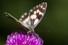 Detailed view marbled white melanargia galathea butterfly viol. Detailed view natural marbled white melanargia galathea butterfly violet thistle flower Stock Images