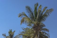 Detailed view of palm trees on the island of Mussulo, Luanda, Angola. Detailed view of palm trees leafs and sky, on the island of Mussulo, Luanda, Angola stock photo