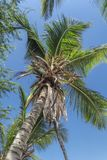 View at palm tree on the island of Mussulo, Luanda, Angola. Detailed view of palm trees leafs and sky, on the island of Mussulo, Luanda, Angola stock image