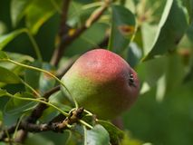 Detailed view on the pear on the tree in the garden. Royalty Free Stock Photos