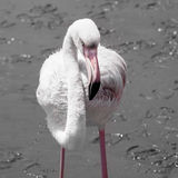 Detailed view of pink flamingo Stock Images