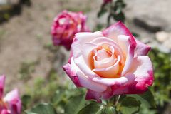 Detailed view of red and white roses. Stock Photos