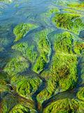 Detailed view of river grass and algae Royalty Free Stock Photo