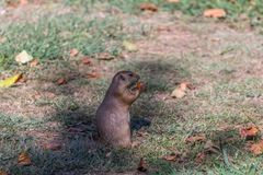 Detailed view of a single funny rodent, prairie dog, genus Cynomys. On park grass stock image
