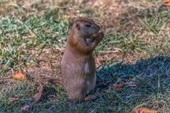 Detailed view of a single funny rodent, prairie dog, genus Cynomys. On park grass royalty free stock photo