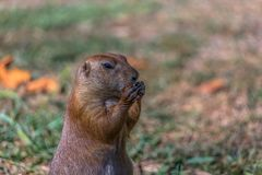 Detailed view of a single funny rodent, prairie dog, genus Cynomys. On park grass stock photo