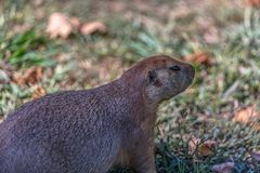 Detailed view of a single funny rodent, prairie dog, genus Cynomys. On park grass stock images
