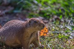 Detailed view of a single funny rodent, prairie dog, genus Cynomys. On park grass royalty free stock photography
