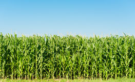 Detailed view of still unripe maize plants Stock Photo
