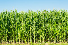 Detailed view of still unripe maize plants Royalty Free Stock Photography