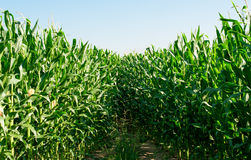 Detailed view of still unripe maize plants Royalty Free Stock Photos