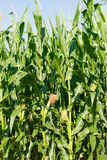 Detailed view of still unripe maize plants Stock Images