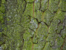 Detailed view of tree bark.  Stock Photo