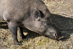 Detailed view of the wild boar Royalty Free Stock Image