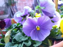detailed violet pansy flower Stock Image