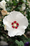 Detailed White Red Hibiscus Flower Royalty Free Stock Photography