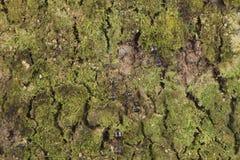 Detailentwurf Naturmoos auf der Baumrindebeschaffenheitsmuster-Hintergrundtapete stockfoto