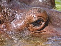 Detailfoto van Groot Reusachtig Dierlijk Hippo-Oog die in Geel Water zwemmen royalty-vrije stock fotografie