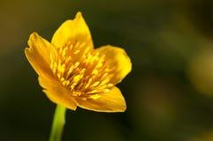 Detailfotografie, gele boterbloemenstampers op groene achtergrond in aard, de achtergrond van de de lentebloem Stock Afbeelding
