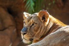 Detailhoofd van vrouwelijke leeuw met rots stock afbeeldingen