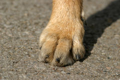 Detailled. A dog's foot stock photo