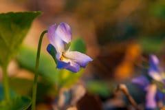 Detailmening van viooltje in tuin in de lente royalty-vrije stock fotografie