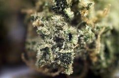 Detailnahaufnahmeansicht der medizinischen Marihuanaknospe Stockfoto