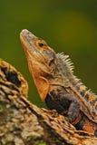 Detailnahaufnahmeporträt der Eidechse Reptil-schwarzer Leguan, Ctenosaura-similis, sitzend auf schwarzem Stein Schöner Eidechsenk lizenzfreie stockfotografie