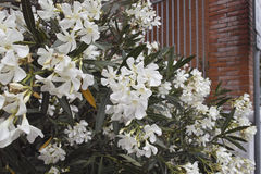 Detailof white oleander Royalty Free Stock Images