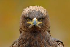 Detailporträt des Adlers Vogel im Gras Steppenadler, Aquila-nipalensis, sitzend im Gras auf Wiese, Wald im Hintergrund Lizenzfreie Stockfotos