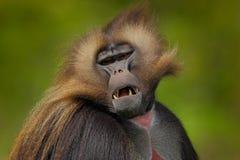 Detailporträt des Affen Porträt von Gelada-Pavian mit offener Mündung mit tooths Porträt des Affen vom afrikanischen Berg Simie Lizenzfreies Stockfoto