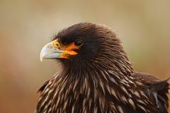 Detailportret van caracara van roofvogels Strieted, australis Phalcoboenus Caracarazitting in het gras in Falkland Islands, Arg stock afbeelding