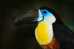 Detailportret van toekan Het portret van de rekeningstoekan Mooie vogel met grote bek Toekan De grote zitting van de bekvogel kan royalty-vrije stock fotografie