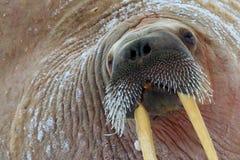 Detailportret van Walrus met grote witte slagtand, Odobenus-rosmarus, groot dier in aardhabitat, Svalbard, Noorwegen close-upport stock afbeelding