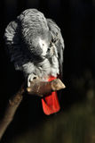 African Grey Parrot, Psittacus erithacus Royalty Free Stock Photography