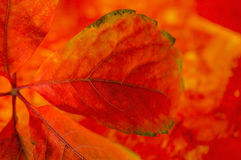 Details of a autumn leaves. Detail of a read autumn leaves on colored background Royalty Free Stock Image
