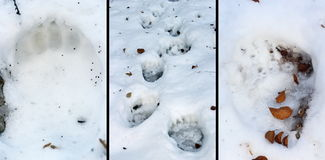 Details of bear tracks in snow Royalty Free Stock Images