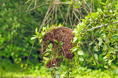 Details of a bird nest in a rain forest tree Stock Photos