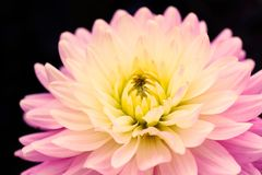 Details of blooming pink yellow dahlia fresh flower macro photography. Color photo emphasizing different hues. stock images
