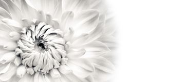 Details of blooming white dahlia fresh flower macro photography. Black and white photo emphasizing texture, contrast and intricate. Floral patterns in a white stock photography
