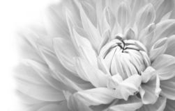 Dahlia details of blooming white dahlia fresh flower macro photography. Black and white photo. royalty free stock images