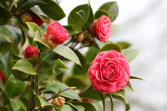Camellia. Details of a blossoming camellia branch in spring Royalty Free Stock Photography