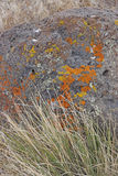 Details, brightly colored lichen on volcanic boulde Stock Images