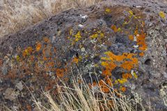 Details, brightly colored lichen on volcanic boulde. R, Diamond Craters Outstanding Natural Area, Malheur, Oregon Stock Photography
