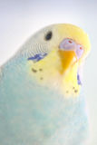Details of Budgerigar parrot Stock Photography