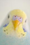 Details of Budgerigar parrot Stock Photos